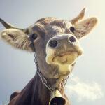 Якутские фермеры из-за сильных морозов шьют меховые лифчики для коров | анонсы на oremontekvartir