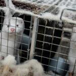 В Германии хотят запретить практику умерщвления новорожденных цыплят | анонсы на oremontekvartir